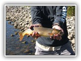 Great Cutthroat Trout